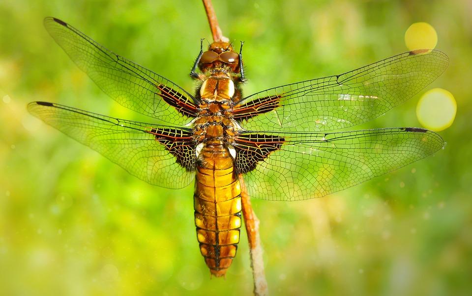Dragonfly Płaskobrzucha, Female