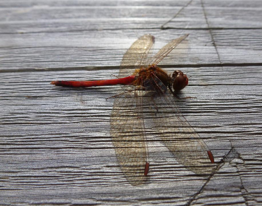 Dragonfly, Red, Wings, Insect, Bug, Macro, Resting