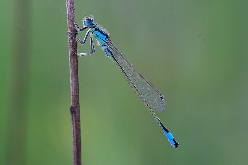 Dragonfly, Small Dragonfly, Unlucky Dragonfly