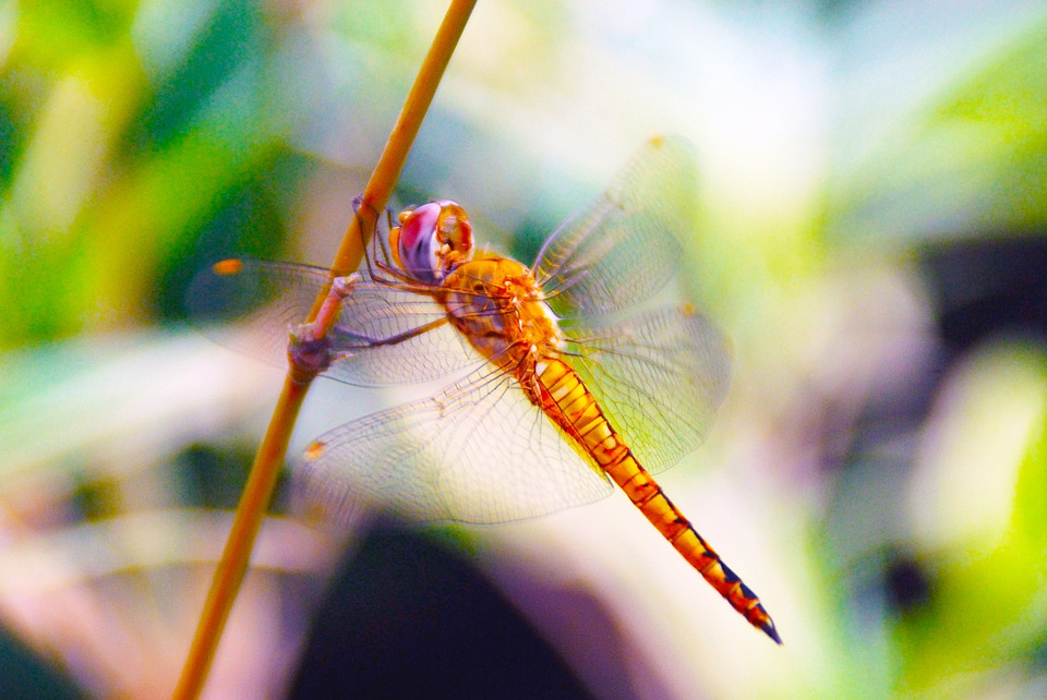 Dragonfly, Insect, Nature, Bug, Animal, Wing, Summer
