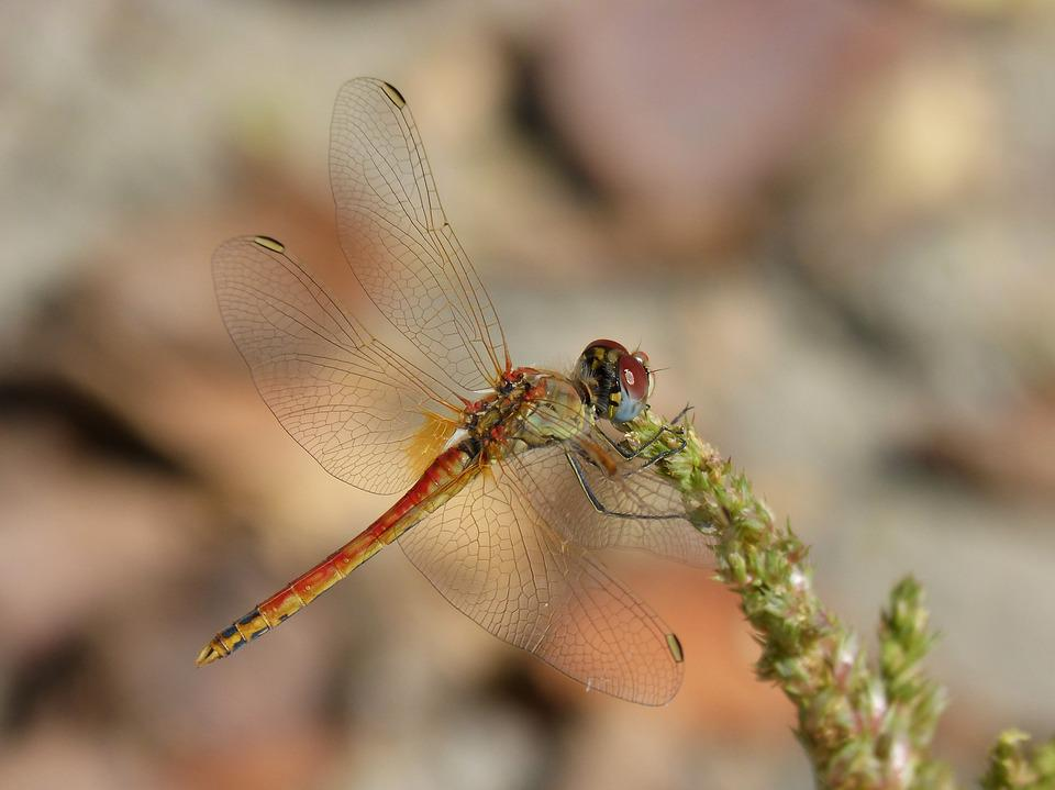 Dragonfly, Sympetrum Striolatum, Winged Insect, Detail