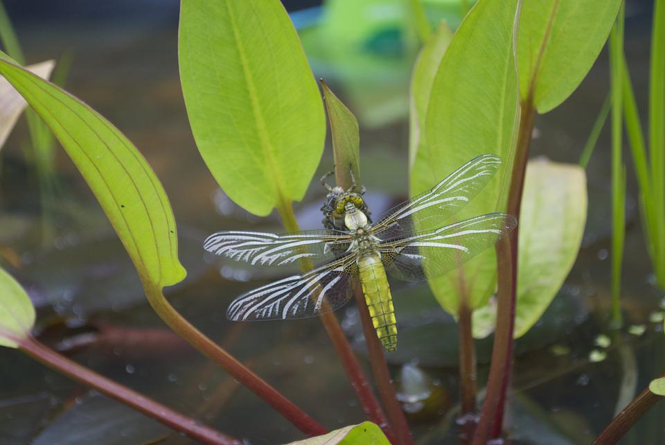 Goldsmith, Dragonfly, Water, Plants