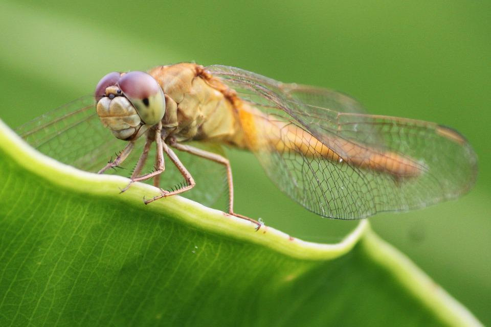 Dragonfly, Insects, Green, Natural, Wing