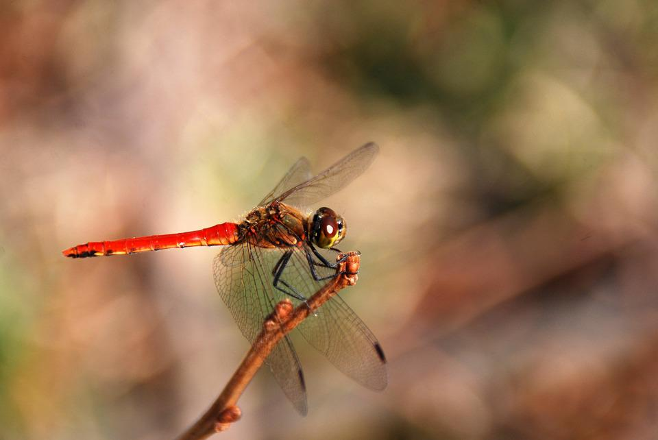 Dragonfly, Insect, Bug, Nature, Animal, Wildlife, Wing