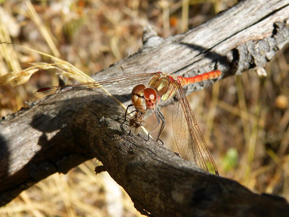 Dragonfly, Winged Insect, Branch, Sympetrum Striolatum
