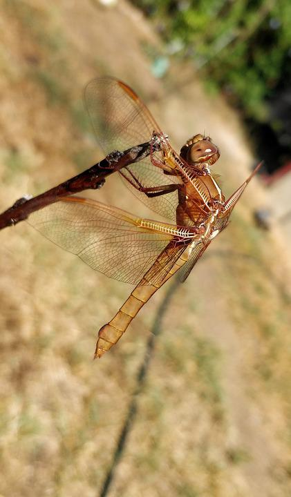 Dragonfly, Insect, Bug, Entomology, Dragonfly Wings