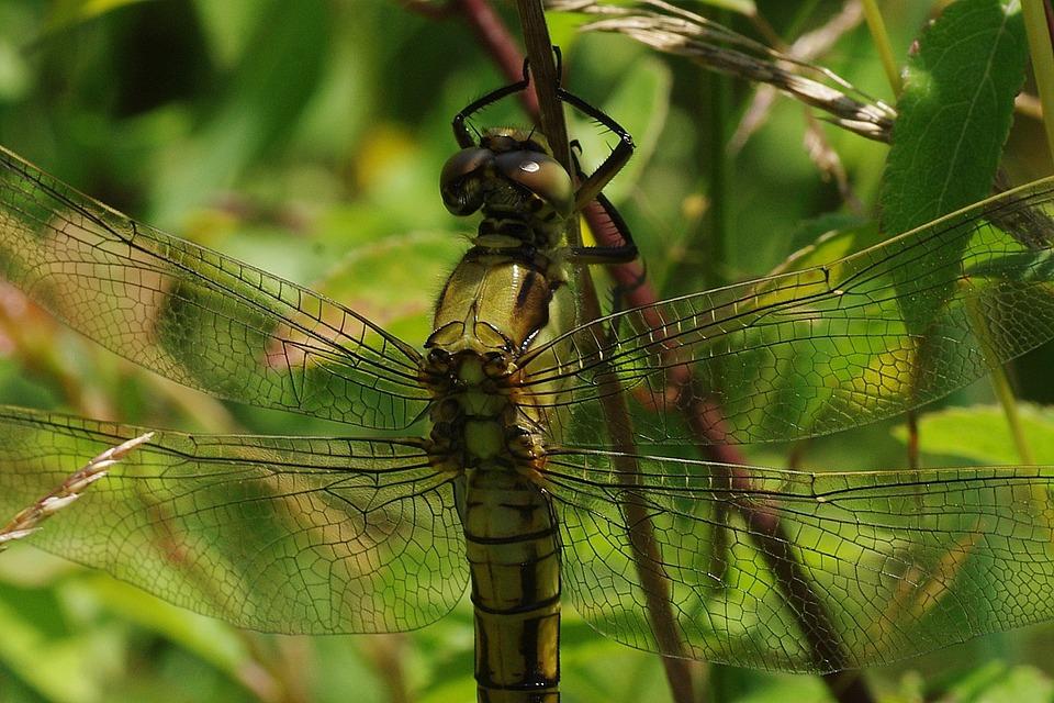 Dragonfly, Yellow, Yellow Dragonfly, Close, Macro