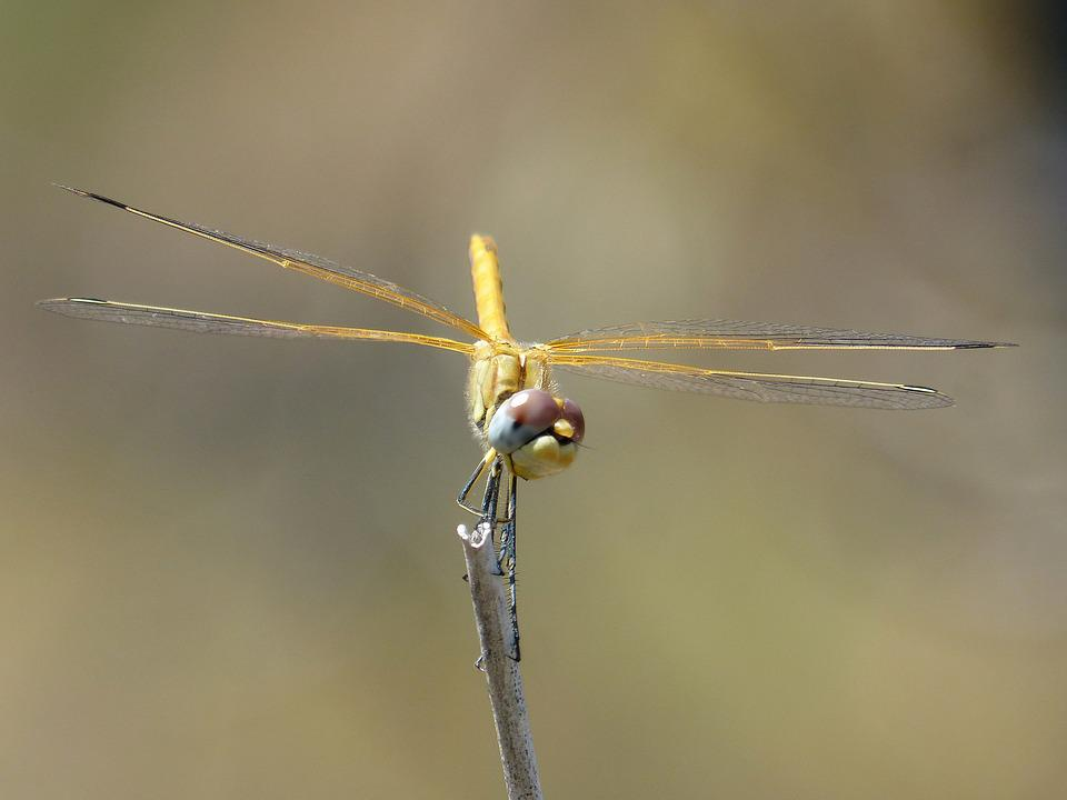 Dragonfly, Yellow Dragonfly, Cordulegaster Boltonii