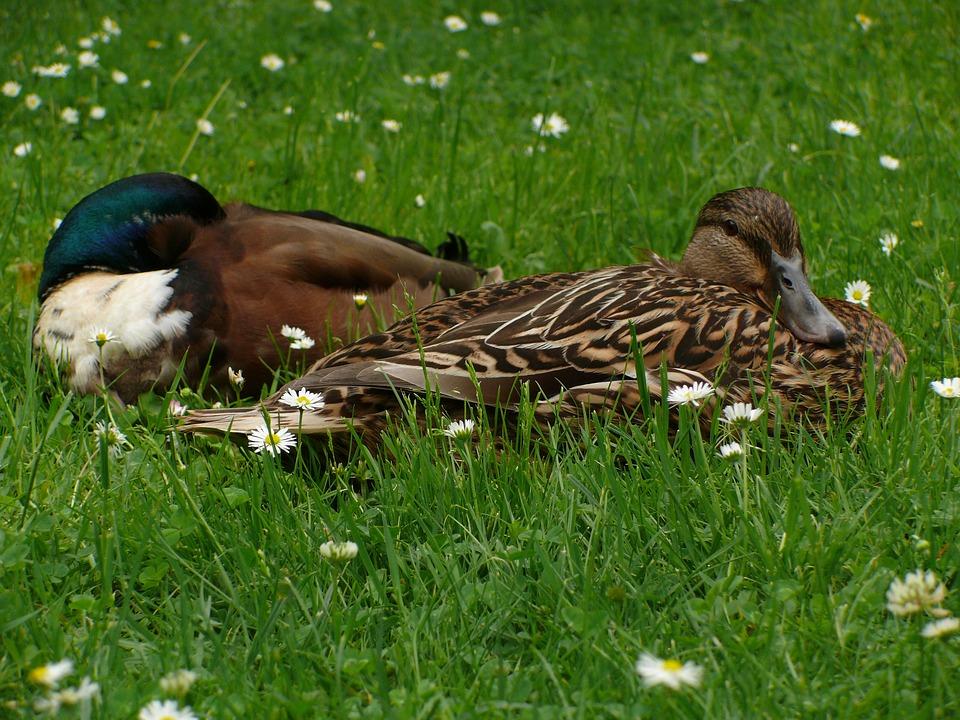 Ducks, Drake, Meadow, Bird, Animal, Duck, Water Bird