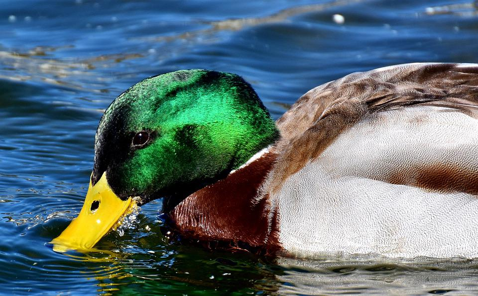 Duck, Mallard, Drake, Colorful, Water Bird, Duck Bird