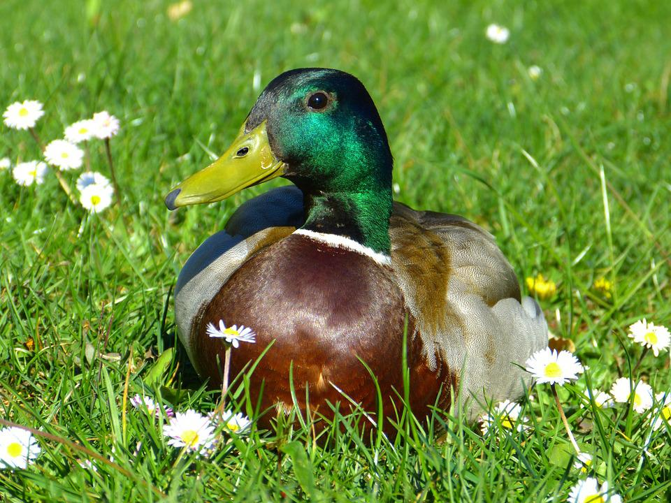 Duck, Drake, Plumage, Bird, Duck Bird, Colorful, Animal