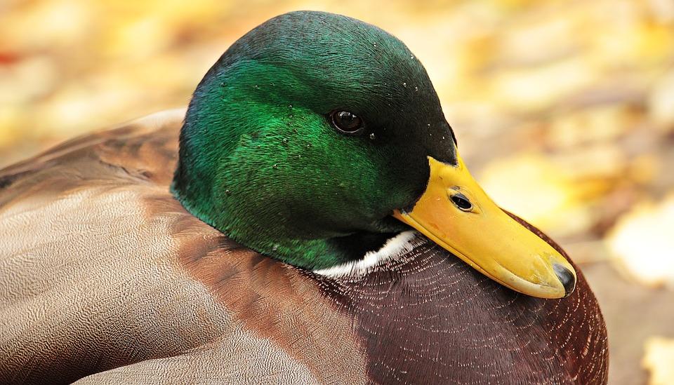 Drake, Duck, Duck Bird, Autumn, Water Bird, Bird