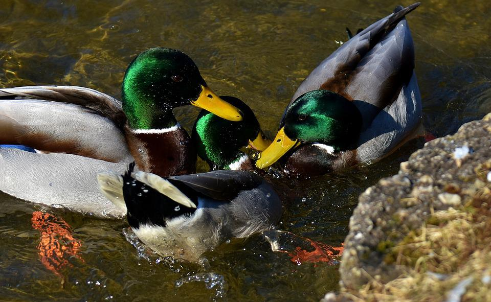 Ducks, Mallards, Drake, Colorful, Waterfowl, Duck Bird