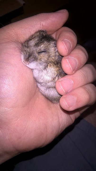 Hamster, Animal, Small, Pet, Muzzles, Rodent, Dream