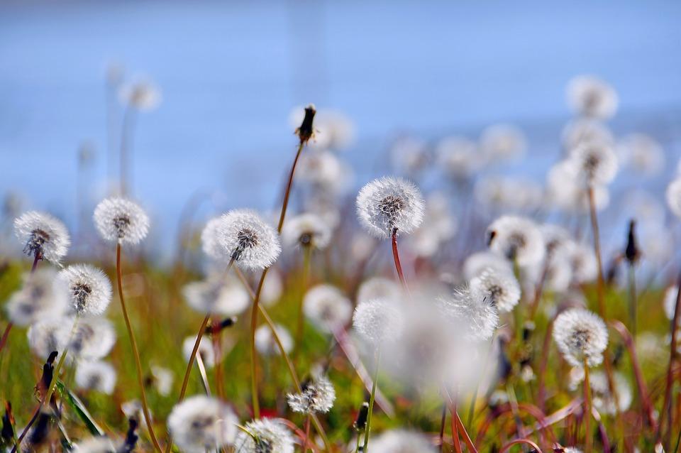 Dandelion, Dressing-gown Dandelion, Flower, Autumn