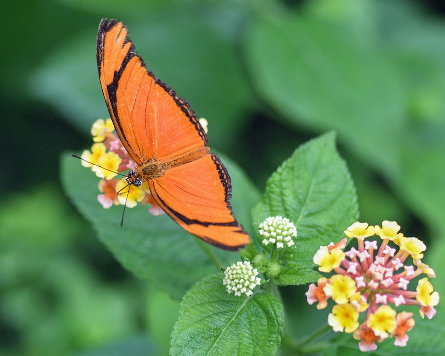 Butterfly, Exotic, Drias Iulia