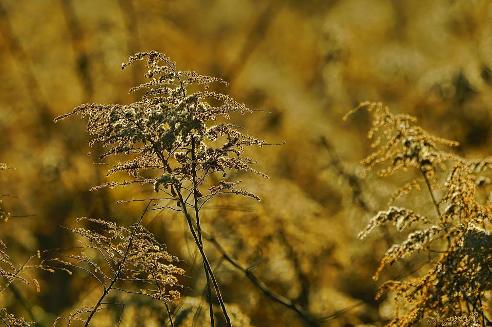 Late Goldenrod, Flowers, Withered, Dried Flowers