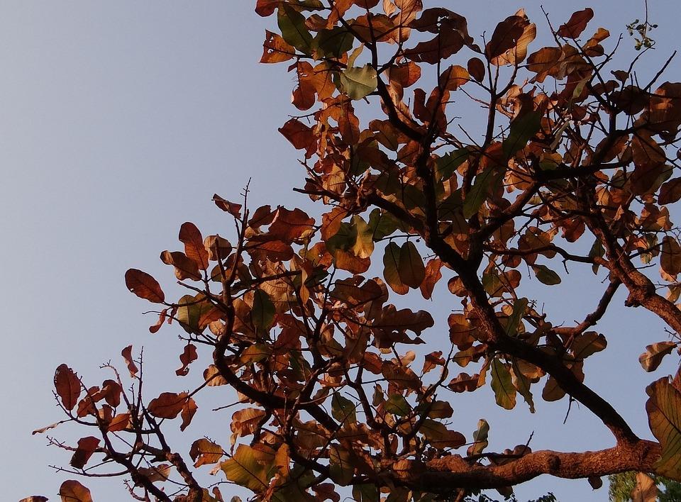 Indian Almond, Dried Leaves, Terminalia Catappa