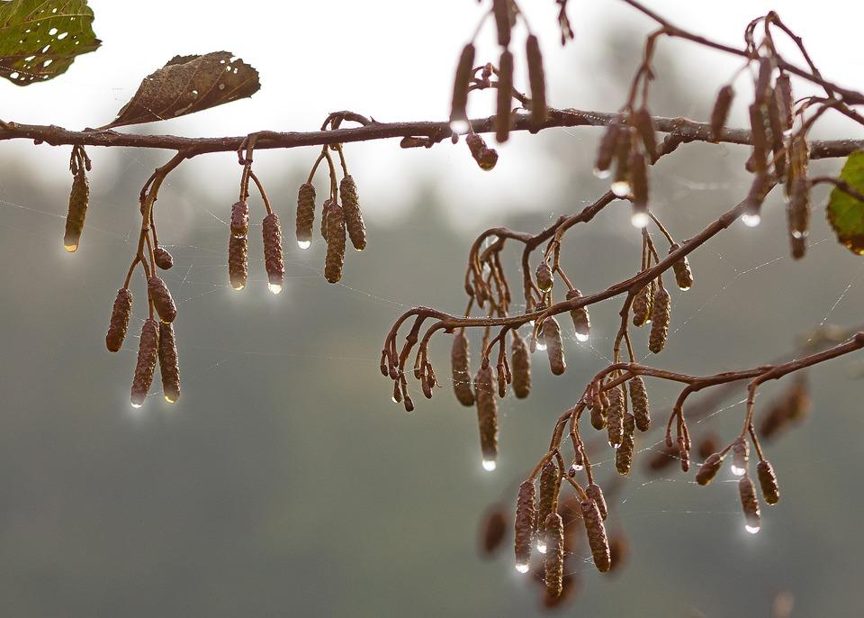 Drip, Autumn, Hazelnut, Sun, Tree, Fruit, Wet, Dew