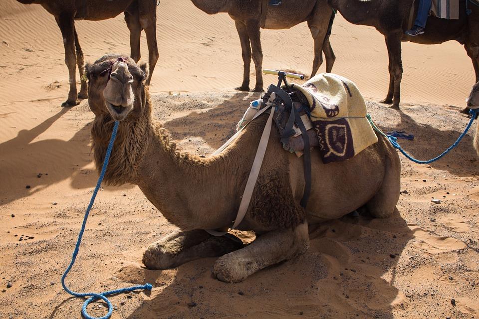 Dromedary, Desert, Camel, Animal, Sand, Mammal, Sahara