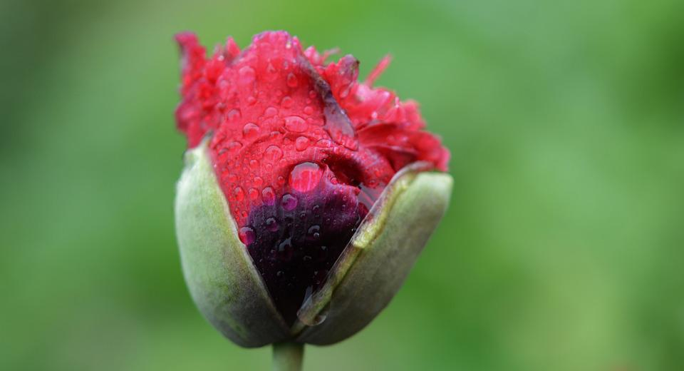 Flower, Red, Water, Drop, Nature, Wet, Macro, Rain