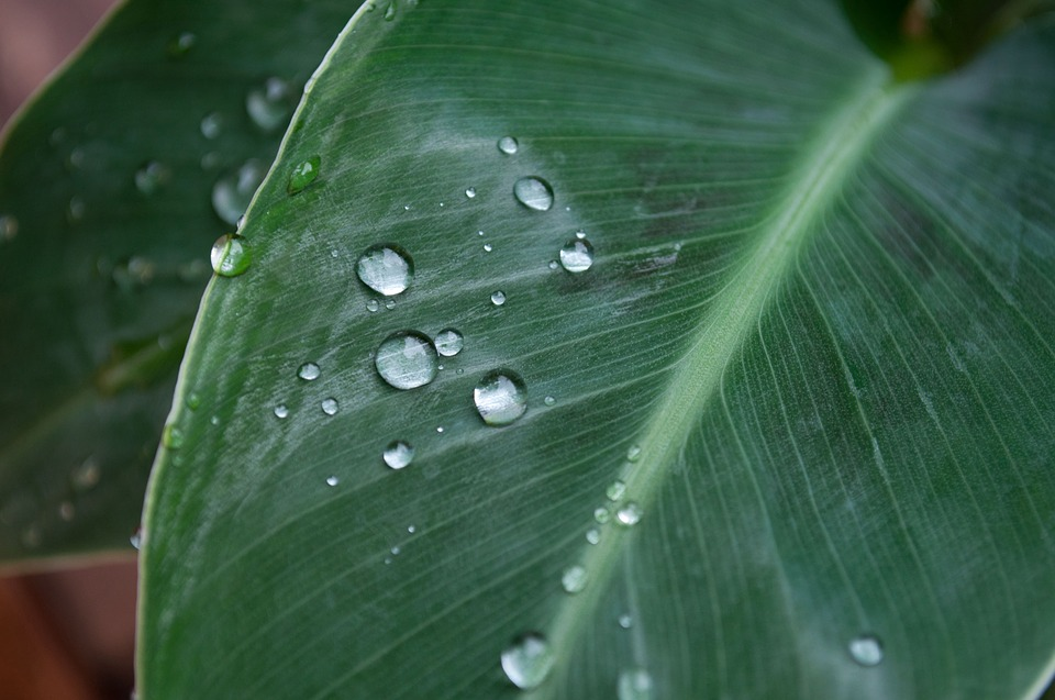 Banana Leaf, Drop Of Water, Plant, Nature, Texture