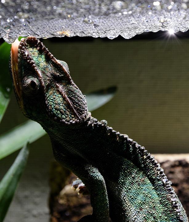 Chameleon, Chameleon Tongue, Drop Of Water, Head