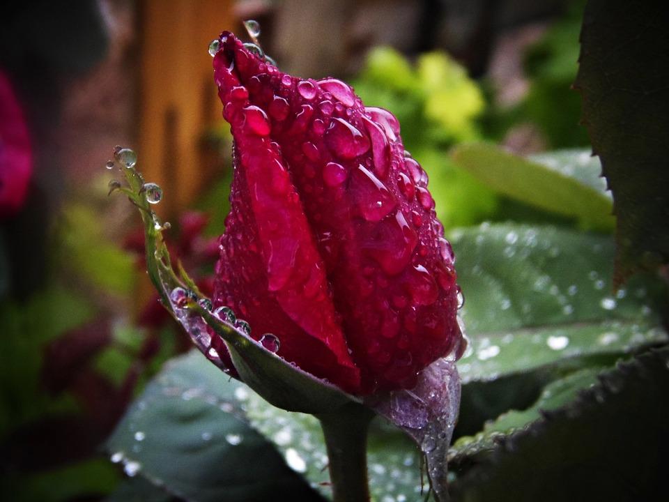 Red Rose, Rain, Drops Of Rain, Macro, Drop Of Water