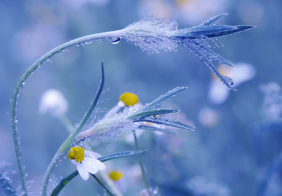 Meadow, Chamomile, Flowers, Drip, Drop Of Water, Dew