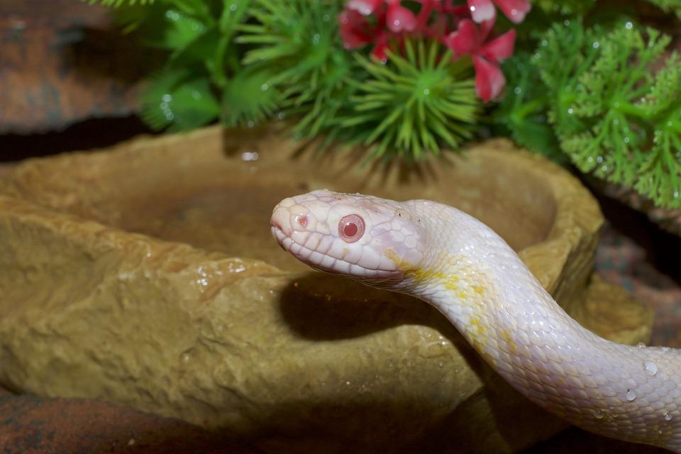 Corn Snake, Snakehead, Close, Snake Eye, Drop Of Water