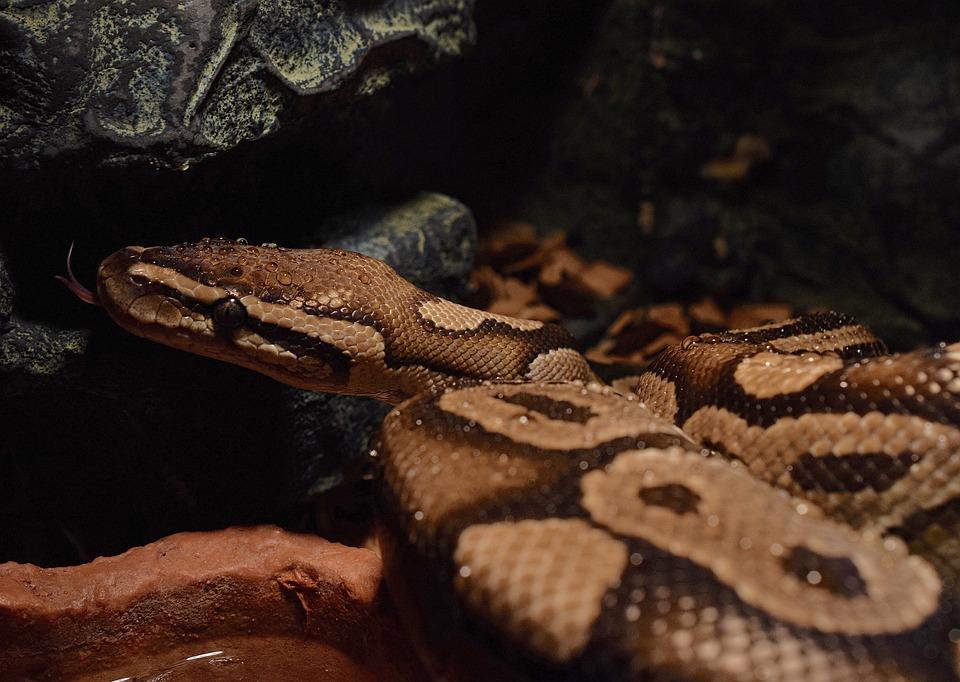 Snakehead, Yellow, Drop Of Water, Ball Python