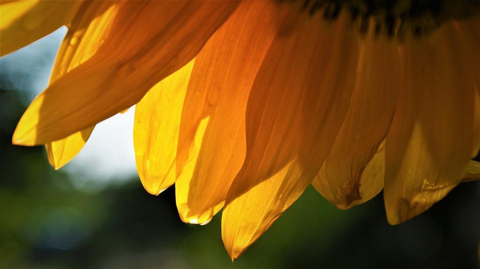 Rain, Drop, Sunflower, Orange, Yellow, Flower, Garden