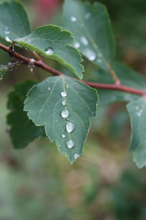 Leaf, Branch, Drop, Rain, Foliage, Plant, Green