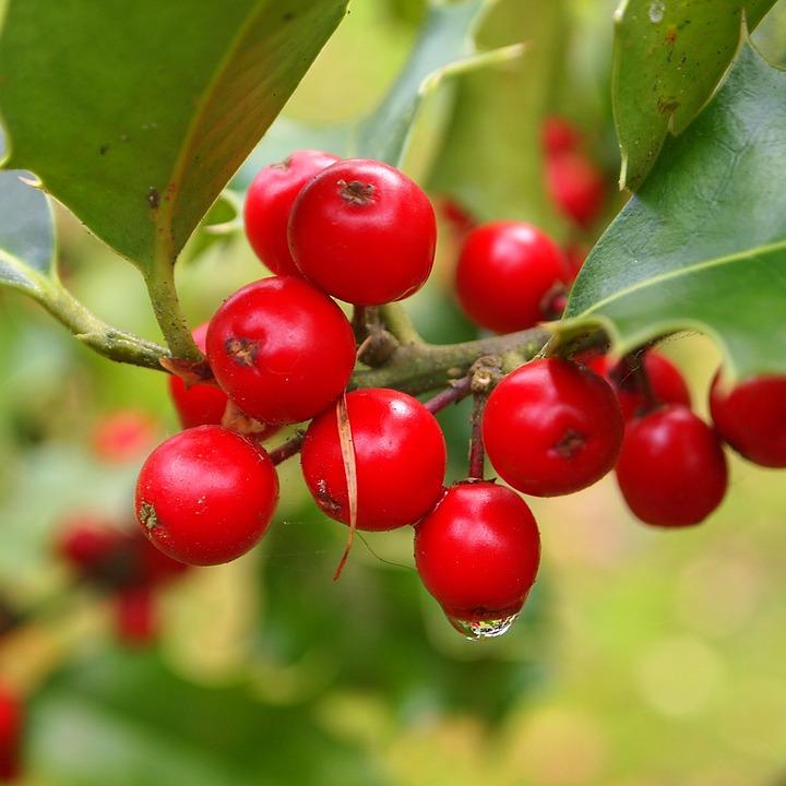 Hulst, Berries, Red, Drop, Rain, Dew