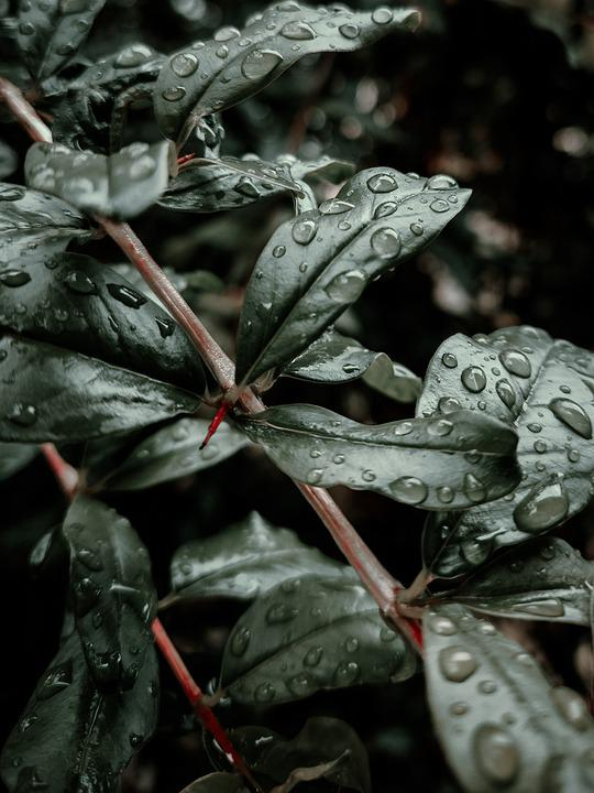 Leaves, Foliage, Dew, Dewdrops, Raindrops, Droplets