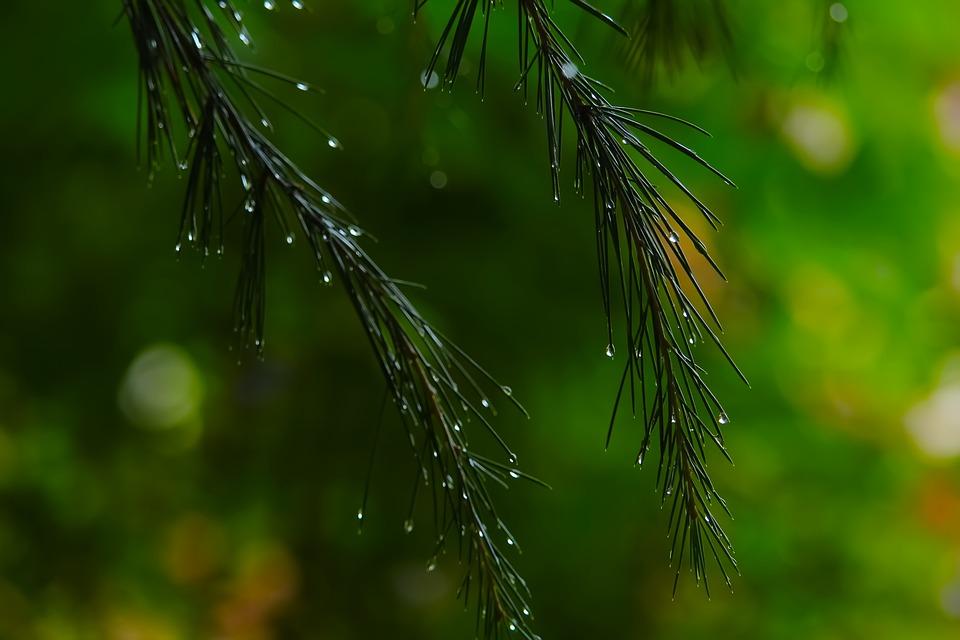 Tree, Firs, Rain, Drops, Raindrops, Droplets, Nature
