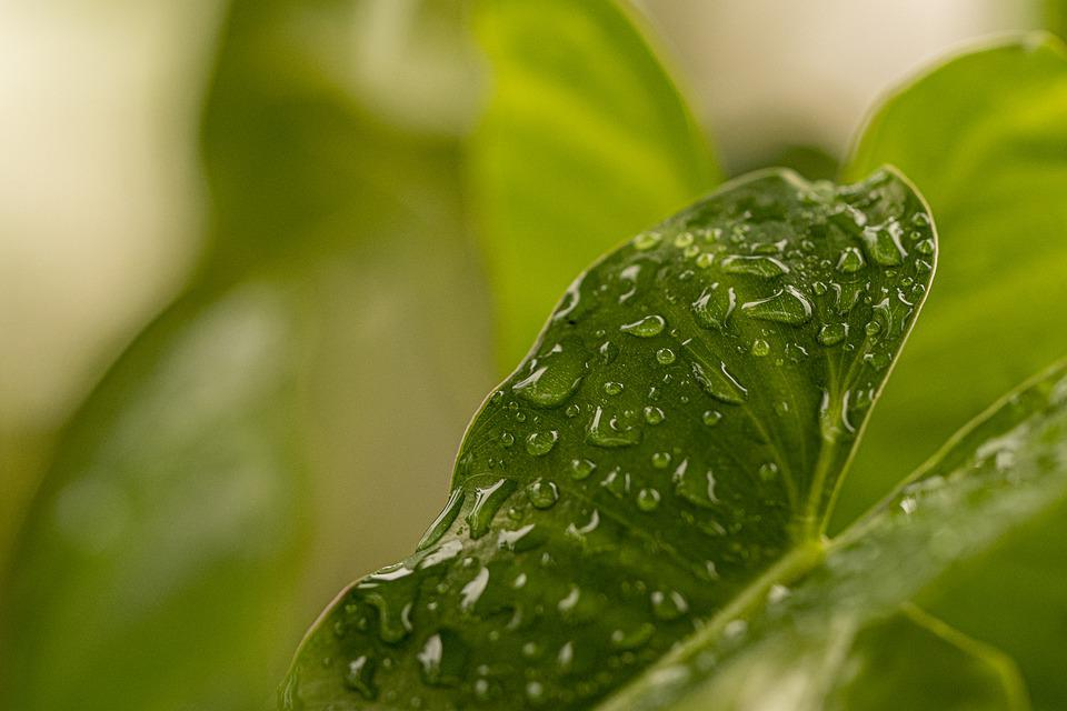 Leaf, Plant, Raindrops, Dew, Dewdrops, Droplets, Wet