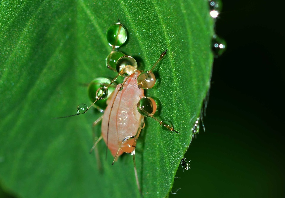 Insects, Aphid, Hemiptera, Drops, Water