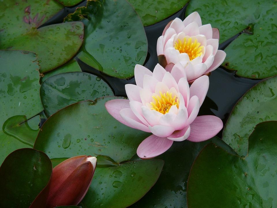 Flower, Water, Water Lily, Nature, Drops Of Water, Zen