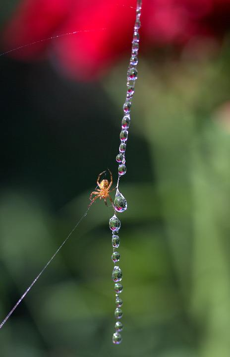 Spider Web, Drops, Spider, Place, Dew, Nature