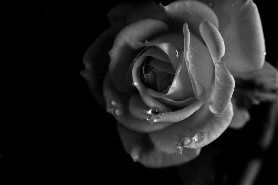Rose, Flower, Black And White, Water, Drops