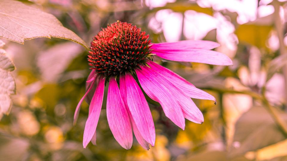 Echinacea, Flower, Nature, Plant, Flora, Drug, Summer