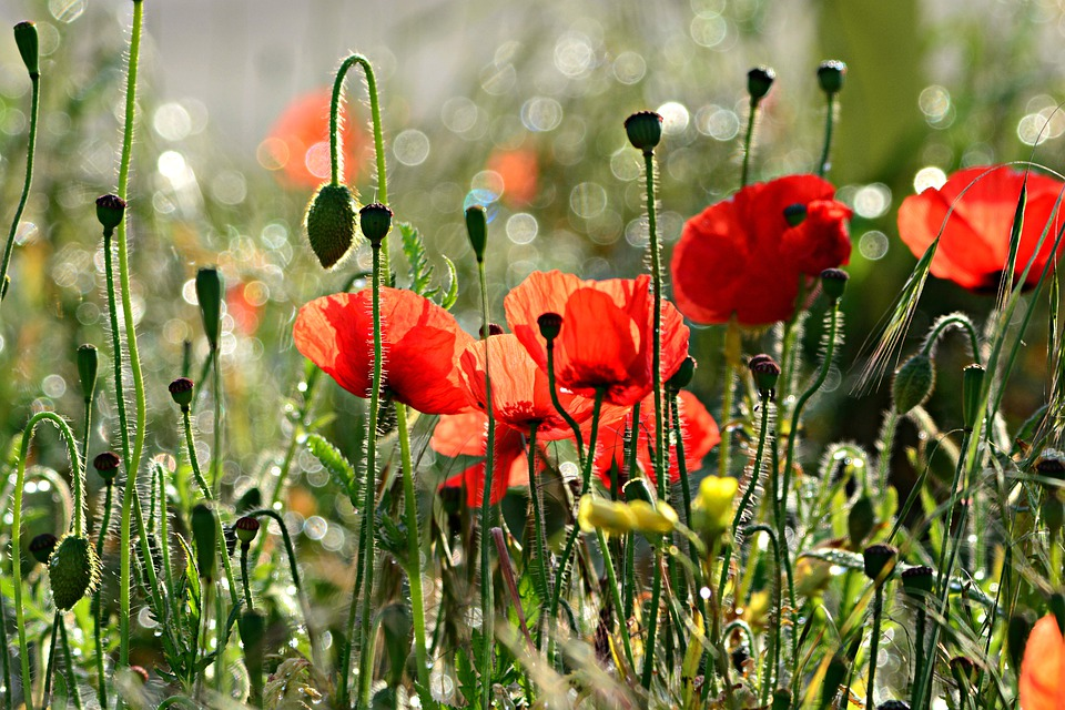 Poppy, Flower, Plant, Papaver Somniferum, Opium, Drug