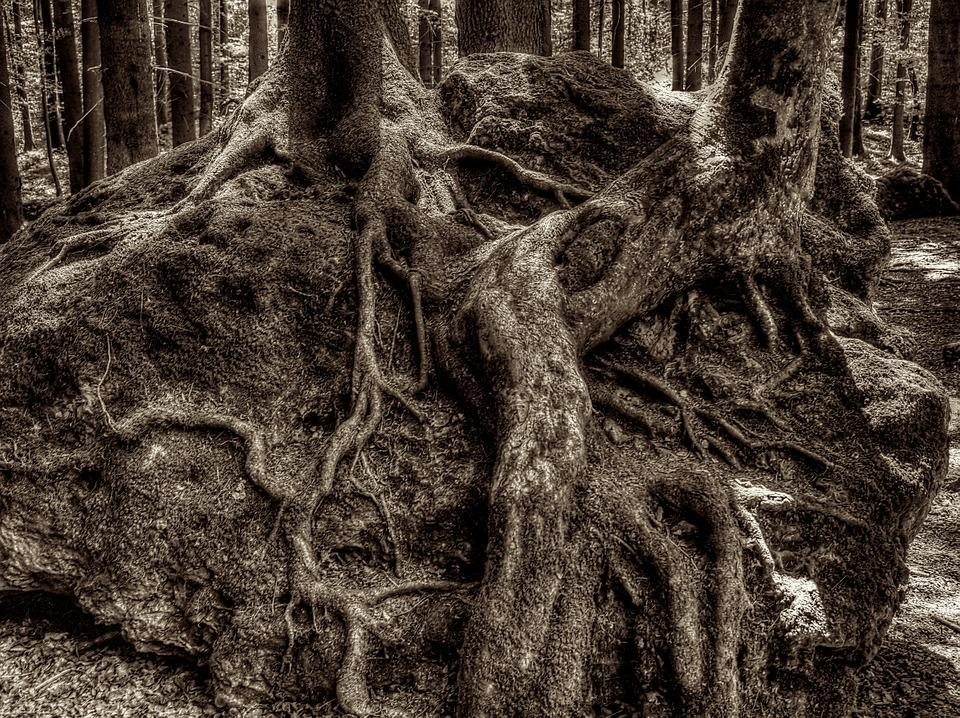 Root, Tree Root, Druid Grove, Forest, National Park