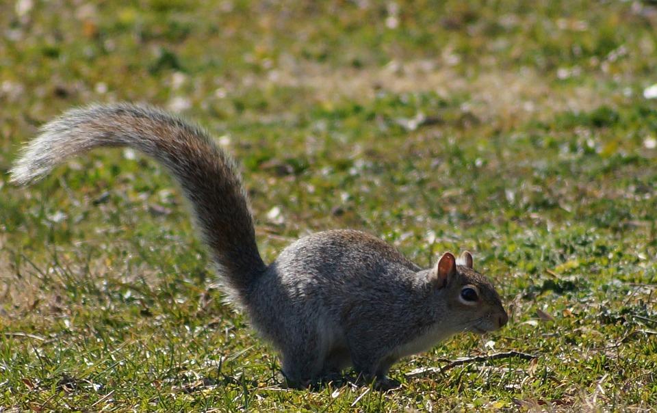 Squirrel, Druid Hill Park, Park, Animal, Wildlife, Wild