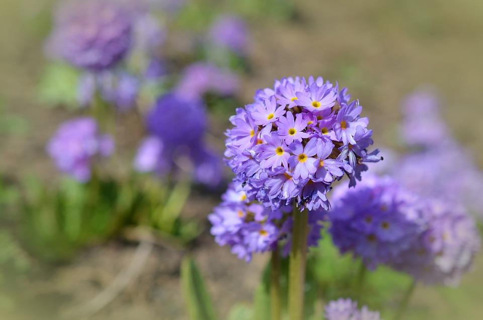 Drumstick, Spring, Blossom, Bloom, Primrose, Purple