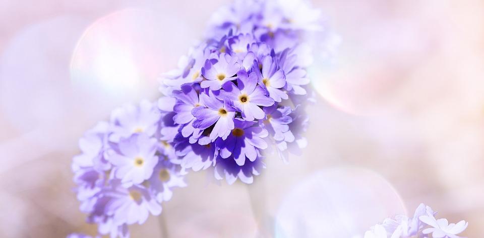 Primrose, Drumstick, Flowers, Blue, Spring Flower