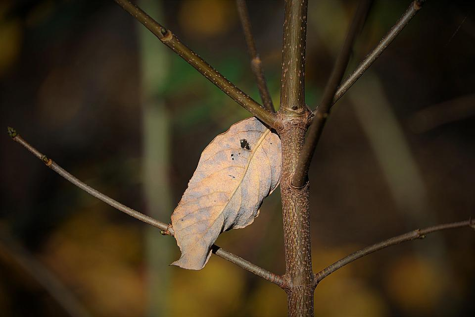 Withered Leaf, Dry, Autumn, Branch, Brown