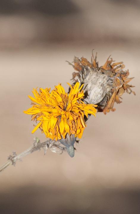 Flower, Dry, Decadence, Nature
