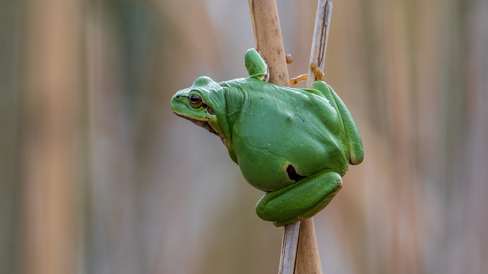 Tree-frog, Frog, Green, Amphibian, Nature, Dry Grass